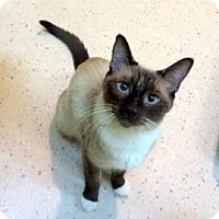 Siamese Cat for adoption in Janesville, Wisconsin - Penelope