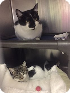 Domestic Shorthair Kitten for adoption in Manchester, New Hampshire - Cherry&Cola-Kittens!