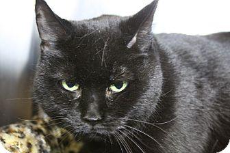 Domestic Shorthair Cat for adoption in Sarasota, Florida - Fiona