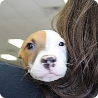Adopt A Pet :: Buckshot - Claremore, OK
