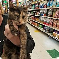 Adopt A Pet :: Tortellini - Hainesville, IL