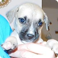 Adopt A Pet :: Lincoln - Von Ormy, TX