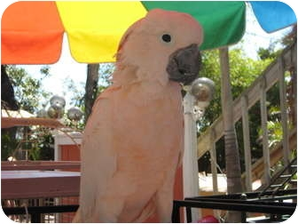 Cockatoo for adoption in Melbourne Beach, Florida - Oz