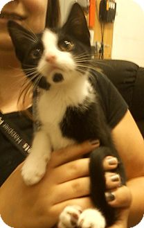 Domestic Shorthair Kitten for adoption in Troy, Ohio - Milk Dude
