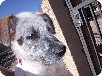 Australian Cattle Dog Mix Puppy for adoption in Phoenix, Arizona - Painter - Adoption Pending