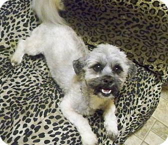 Lhasa Apso Mix Dog for adoption in Los Angeles, California - BRANDO