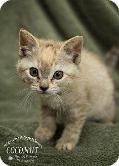 Domestic Mediumhair Kitten for adoption in San Antonio, Texas - Coconut