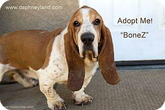 Basset Hound Dog for adoption in Acton, California - BoneZ
