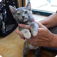 Domestic Shorthair Kitten for adoption in San Antonio, Texas - A340004  Queenie