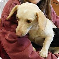 Adopt A Pet :: Daisy - Rockville, MD