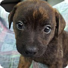 Adopt A Pet :: Gil! **FOSTER NEEDED**
