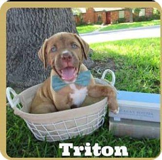 Mastiff/Labrador Retriever Mix Puppy for adoption in Leming, Texas - Triton