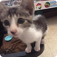 American Shorthair Kitten for adoption in Rincon, Puerto Rico - Kitties 2 Males Lokey Simba