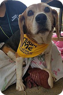 Beagle Dog for adoption in Apple Valley, California - Maude