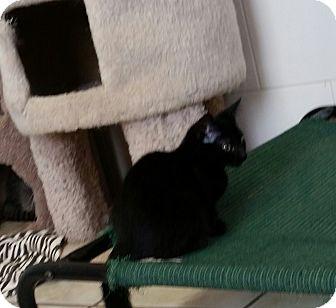 Domestic Shorthair Kitten for adoption in Chippewa Falls, Wisconsin - Barella
