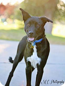 Labrador Retriever Mix Dog for adoption in Salt Lake City, Utah - Jigsaw