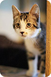 Domestic Shorthair Cat for adoption in Markham, Ontario - Nugget