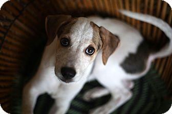 Hound (Unknown Type) Puppy for adoption in Monroe, New Jersey - Tiger