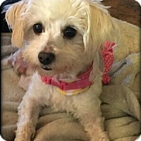 maltese rescue san diego san diego ca maltese mix meet merlot a dog for adoption 7736