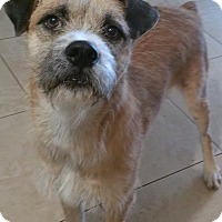 Border Terrier/Terrier (Unknown Type, Medium) Mix Dog for adoption in Phoenix, Arizona - Ray