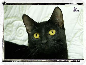 Domestic Shorthair Cat for adoption in Elmwood Park, New Jersey - Boo