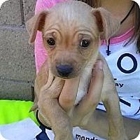 Adopt A Pet :: puppy1 - Mesa, AZ