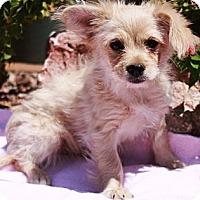 Adopt A Pet :: Sonata - Gilbert, AZ