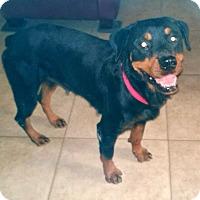 Adopt A Pet :: Missy - Gilbert, AZ