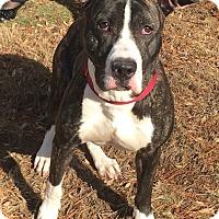 Adopt A Pet :: Bazooka - Bloomfield, CT