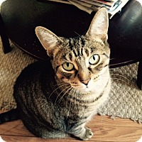Domestic Shorthair Cat for adoption in Toronto, Ontario - Ally