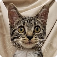 Domestic Shorthair Cat for adoption in New York, New York - Jean