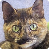 Domestic Shorthair Cat for adoption in Jefferson, Wisconsin - Toya