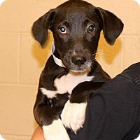 Adopt A Pet :: Butterscotch~meet me~ - Glastonbury, CT