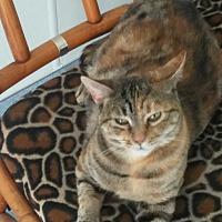 Domestic Shorthair Cat for adoption in El Cajon, California - Georgia