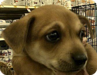 Chihuahua/Catahoula Leopard Dog Mix Puppy for adoption in Newnan, Georgia - Teddy