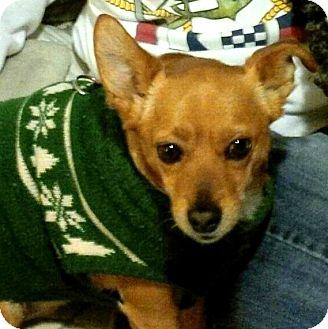 Rat Terrier Mix Dog for adoption in Fairfax, Virginia - Buddy