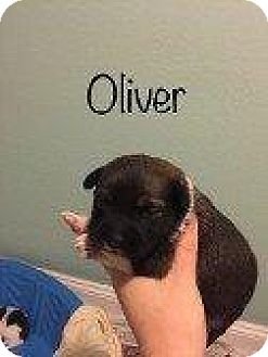 Manchester Terrier Puppy for adoption in Hampton, Virginia - OLIVER (BISCUIT PUPPY)