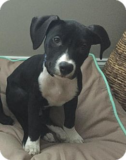 Pit Bull Terrier Mix Puppy for adoption in Alpharetta, Georgia - AndyCat