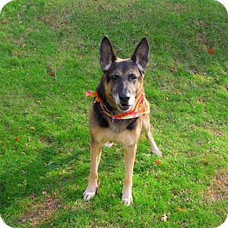 German Shepherd Dog Dog for adoption in Vineland, New Jersey - Dutch