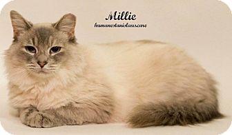 Siamese Cat for adoption in Modesto, California - Millie