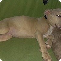 Pit Bull Terrier Puppy for adoption in Maple Grove, Minnesota - Sadie