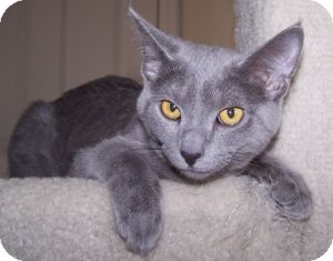 Domestic Shorthair Kitten for adoption in Colorado Springs, Colorado - K-Nicholas4-Nimbus