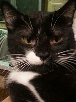 American Shorthair Cat for adoption in Salem, Oregon - Luka