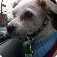 Maltese Dog for adoption in Verona, New Jersey - Newman