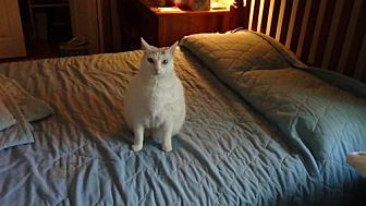 Domestic Shorthair Cat for adoption in Trexlertown, Pennsylvania - Angel*