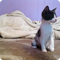 Domestic Shorthair Kitten for adoption in Burbank, California - Nova