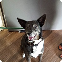 Adopt A Pet :: Daisy - Cashiers, NC