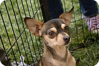 Chihuahua Mix Dog for adoption in Lodi, California - Ralph