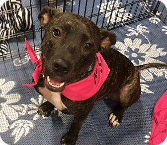 Pit Bull Terrier Mix Dog for adoption in Phoenix, Arizona - Diamond