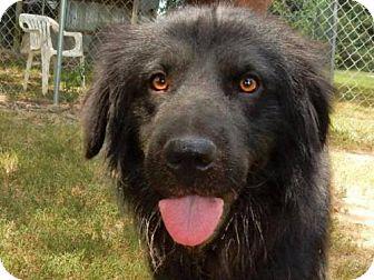 Shepherd (Unknown Type) Mix Dog for adoption in Denver, Colorado - Quartermane